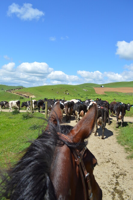 rounding up the cattle on a horse