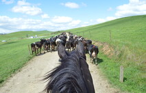 rounding up the cattle